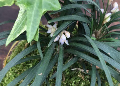 開花したリュウノヒゲ